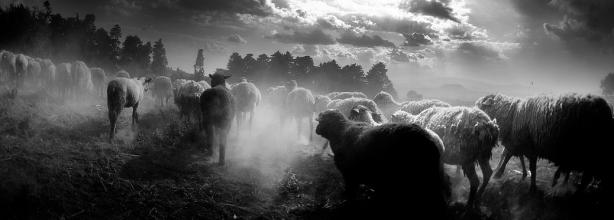 sheep-in-the-fold